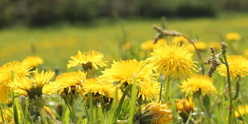 Dandelion-Pregnancy-Test