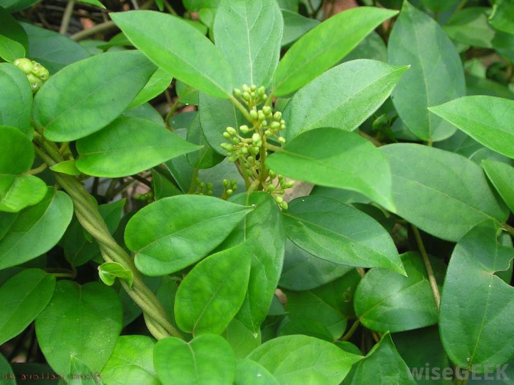 Gymnema leaf