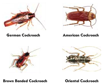 Can I Have One Cockroach Home Remedies