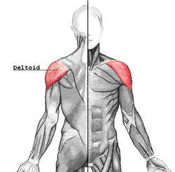 Deltoid muscle exercises